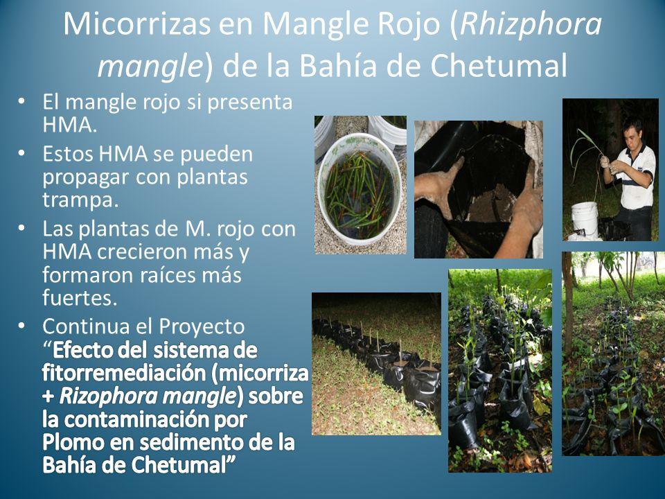 Micorrizas en Mangle Rojo (Rhizphora mangle) de la Bahía de Chetumal