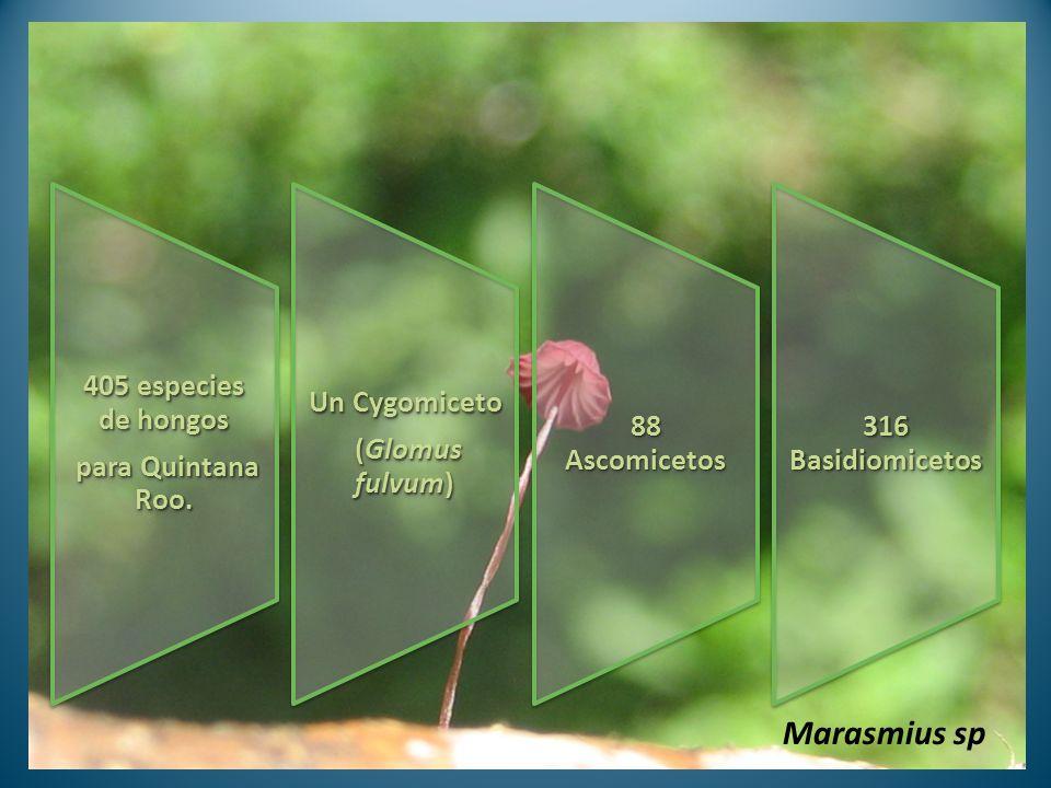 Marasmius sp 405 especies de hongos para Quintana Roo. (Glomus fulvum)