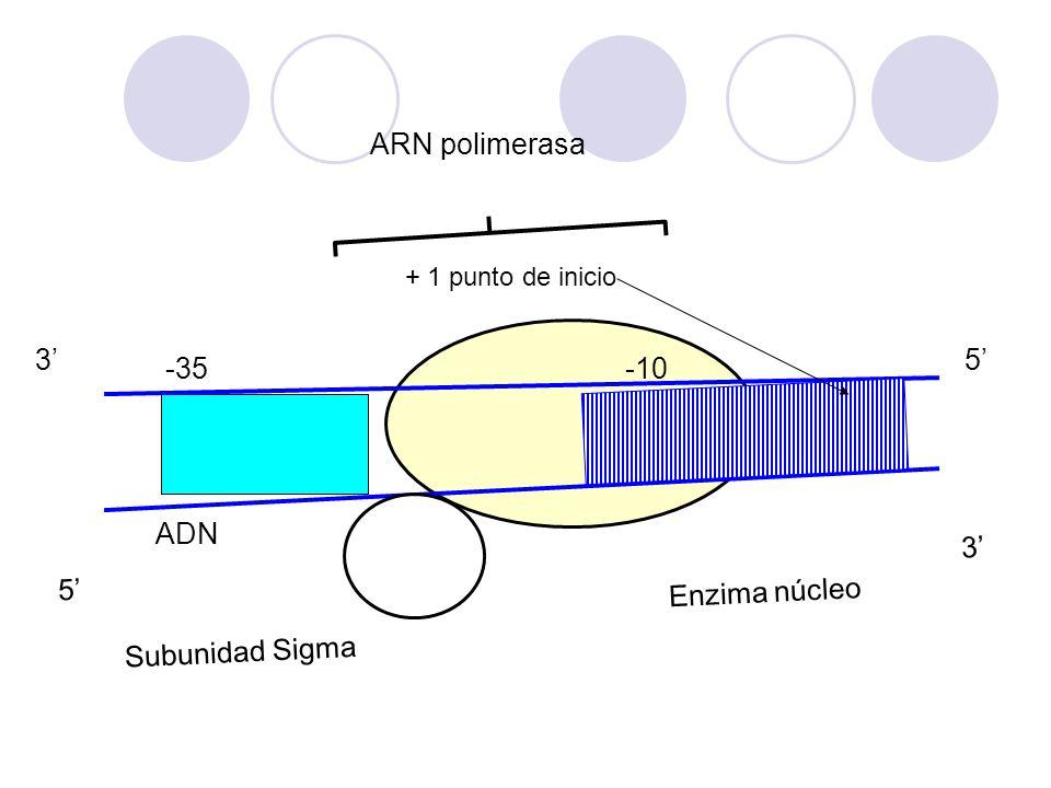 ARN polimerasa ADN 5' 3' Enzima núcleo Subunidad Sigma