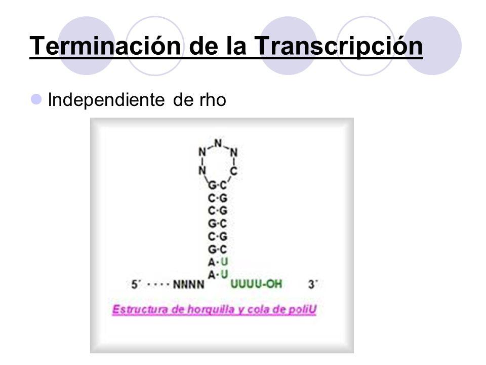 Terminación de la Transcripción