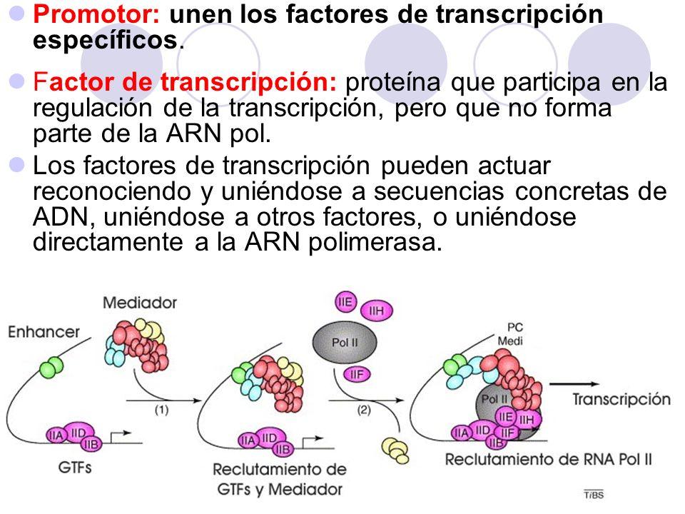 Promotor: unen los factores de transcripción específicos.