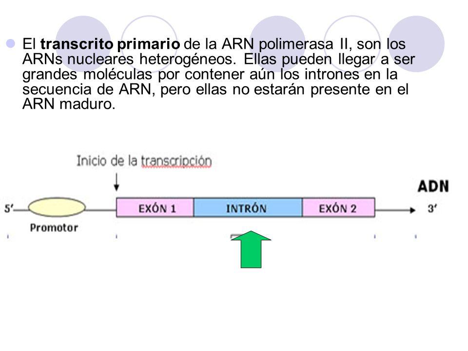 El transcrito primario de la ARN polimerasa II, son los ARNs nucleares heterogéneos.