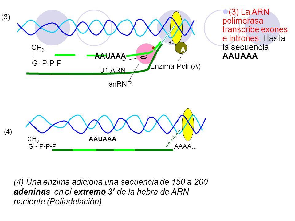 (3) La ARN polimerasa transcribe exones e intrones