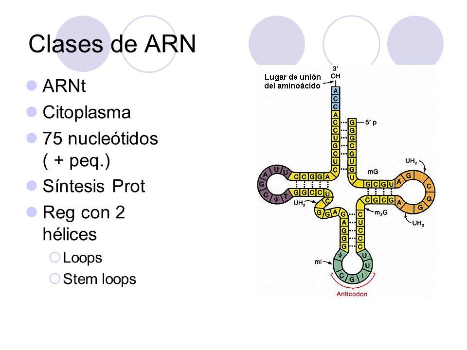 Clases de ARN ARNt Citoplasma 75 nucleótidos ( + peq.) Síntesis Prot