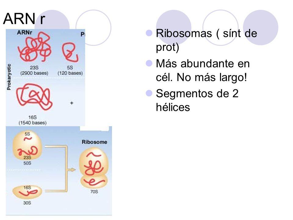 ARN r Ribosomas ( sínt de prot) Más abundante en cél. No más largo!