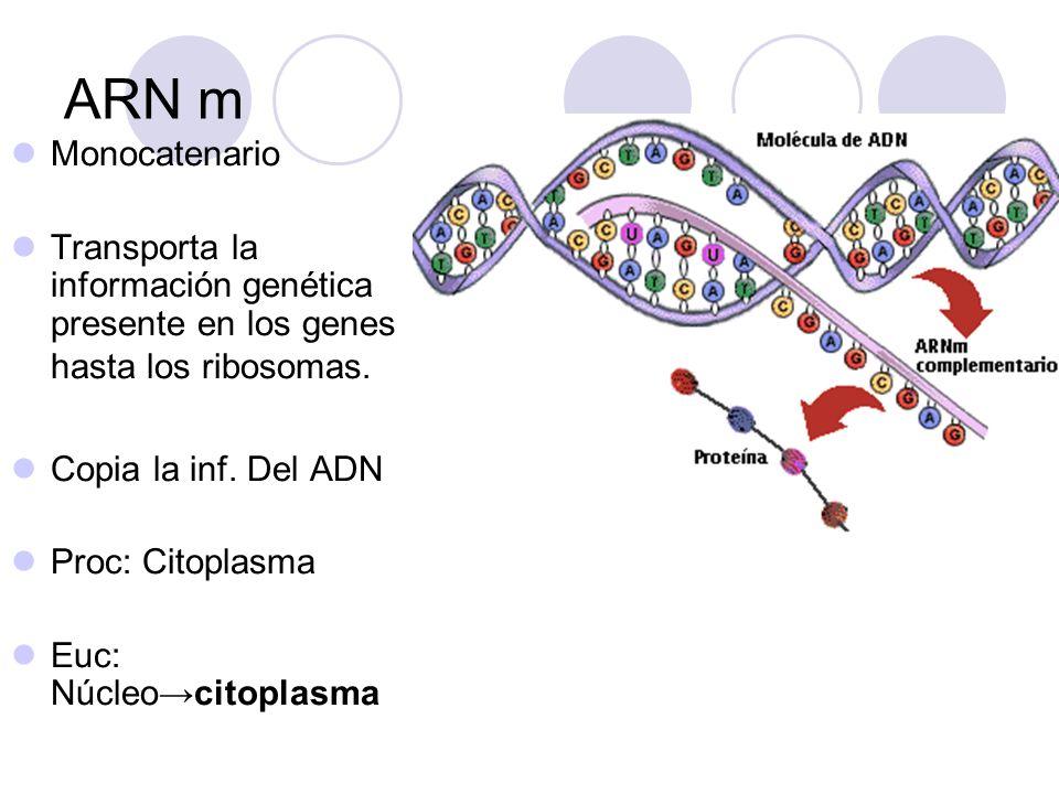 ARN m Monocatenario. Transporta la información genética presente en los genes hasta los ribosomas.