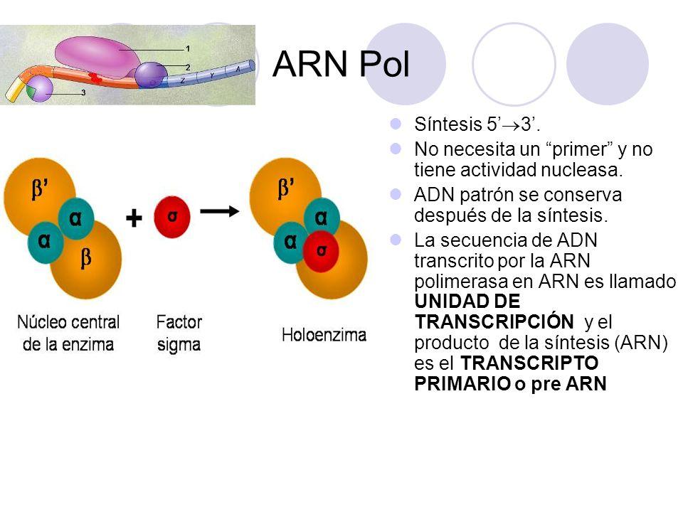 ARN Pol Síntesis 5'3'. No necesita un primer y no tiene actividad nucleasa. ADN patrón se conserva después de la síntesis.