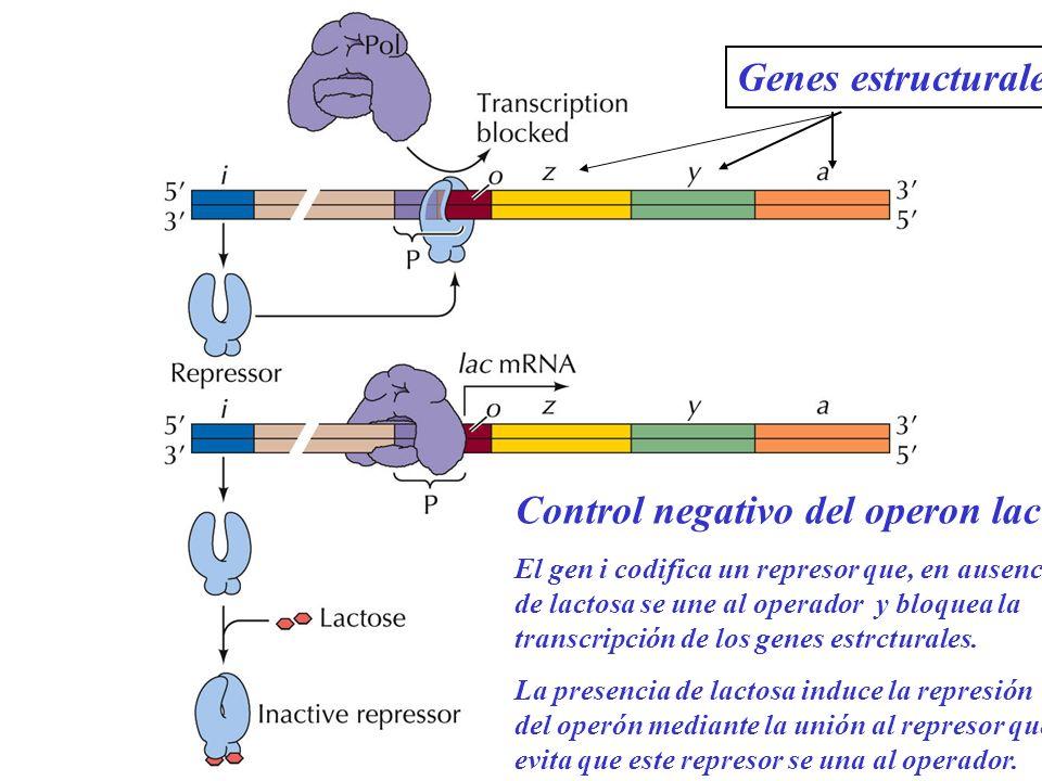 Control negativo del operon lac