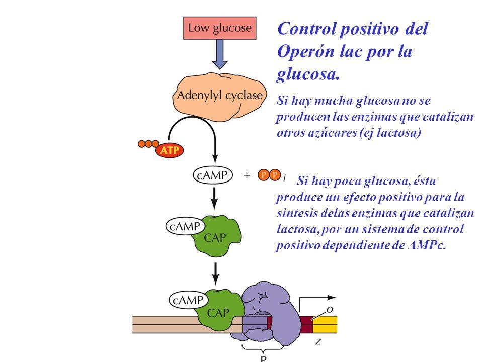 Control positivo del Operón lac por la glucosa.