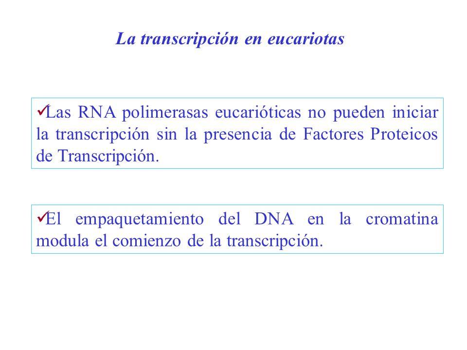 La transcripción en eucariotas