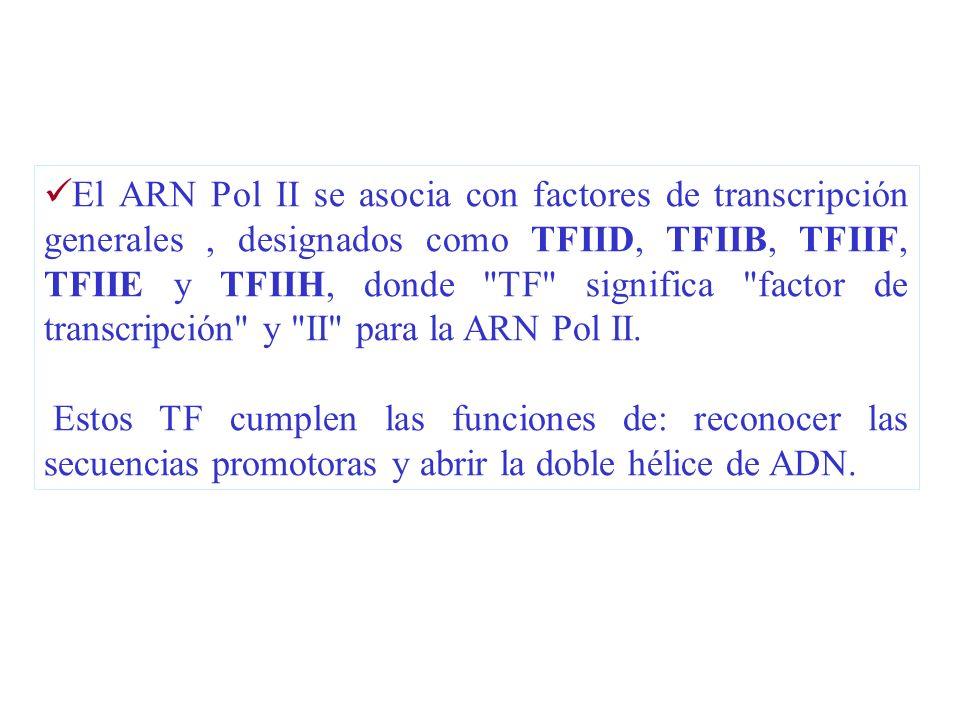 El ARN Pol II se asocia con factores de transcripción generales , designados como TFIID, TFIIB, TFIIF, TFIIE y TFIIH, donde TF significa factor de transcripción y II para la ARN Pol II.