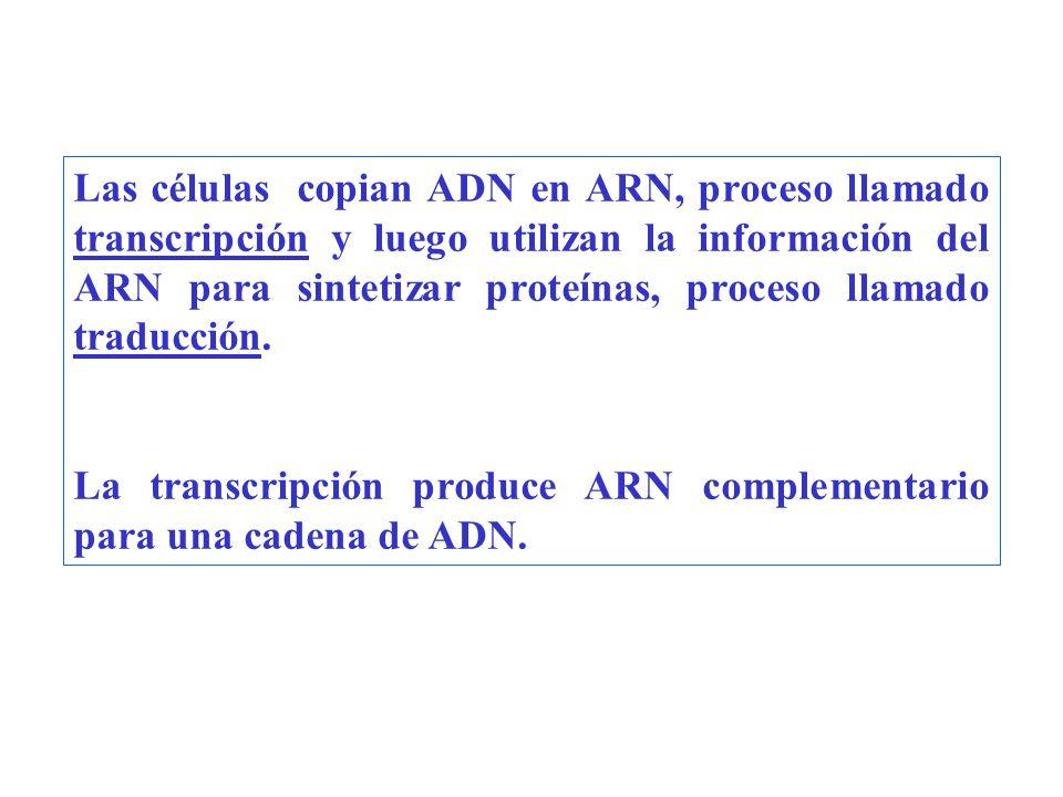 Las células copian ADN en ARN, proceso llamado transcripción y luego utilizan la información del ARN para sintetizar proteínas, proceso llamado traducción.