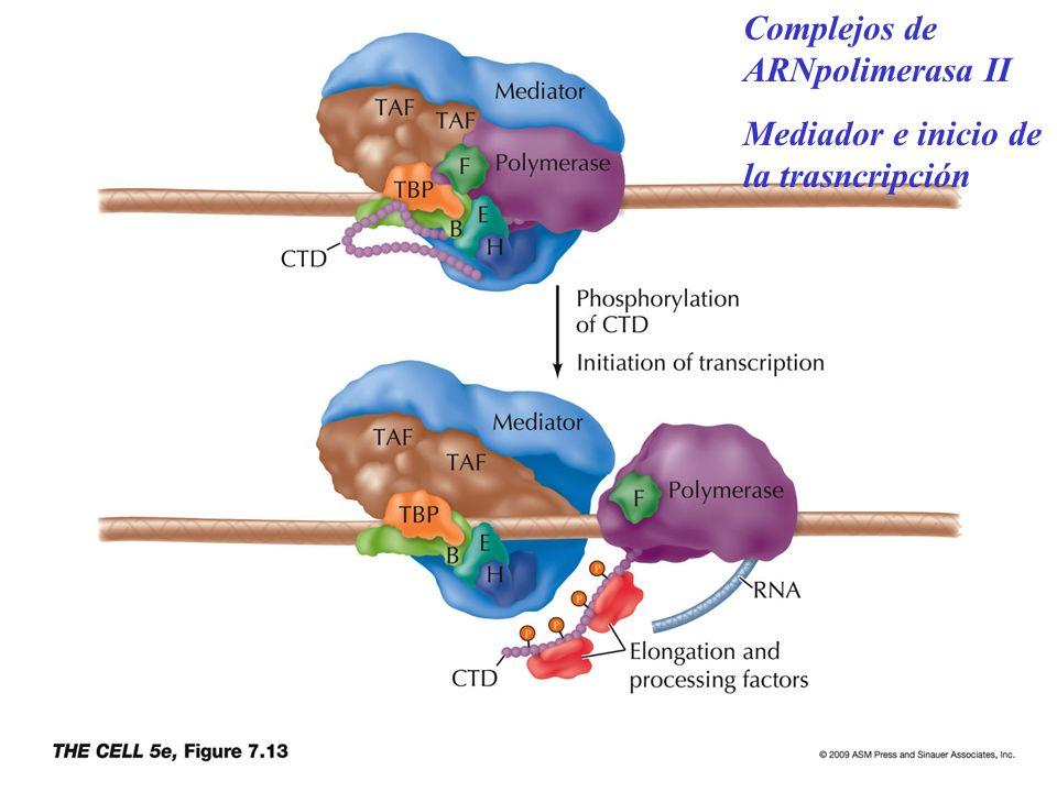 Complejos de ARNpolimerasa II
