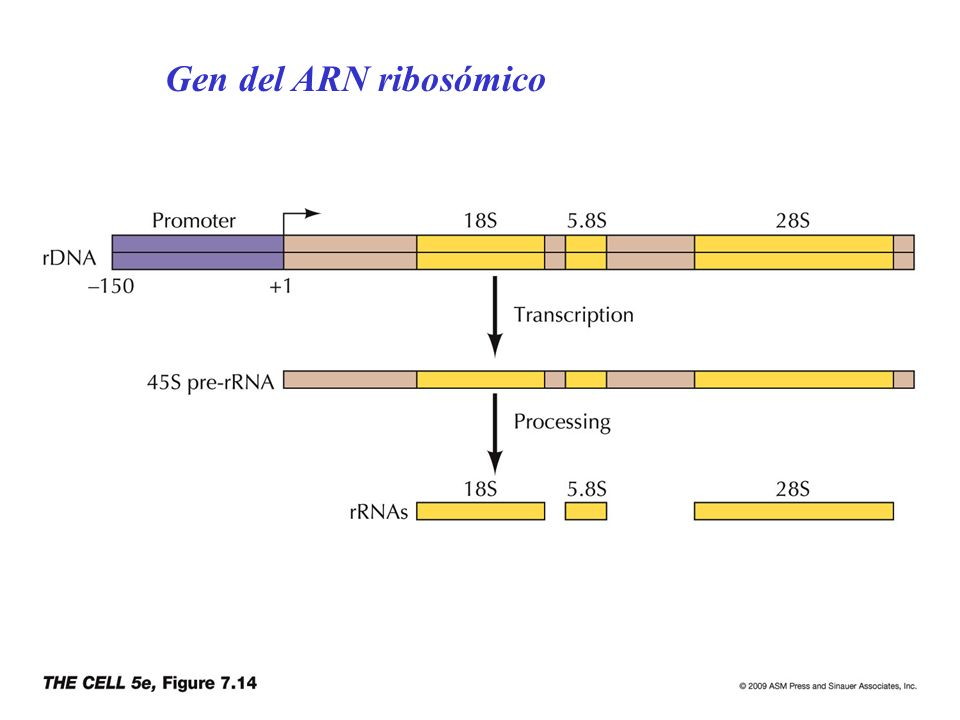Gen del ARN ribosómico
