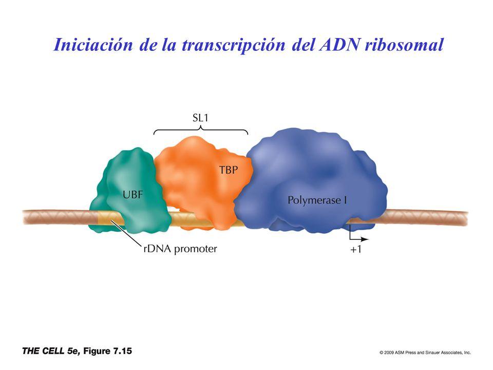 Iniciación de la transcripción del ADN ribosomal