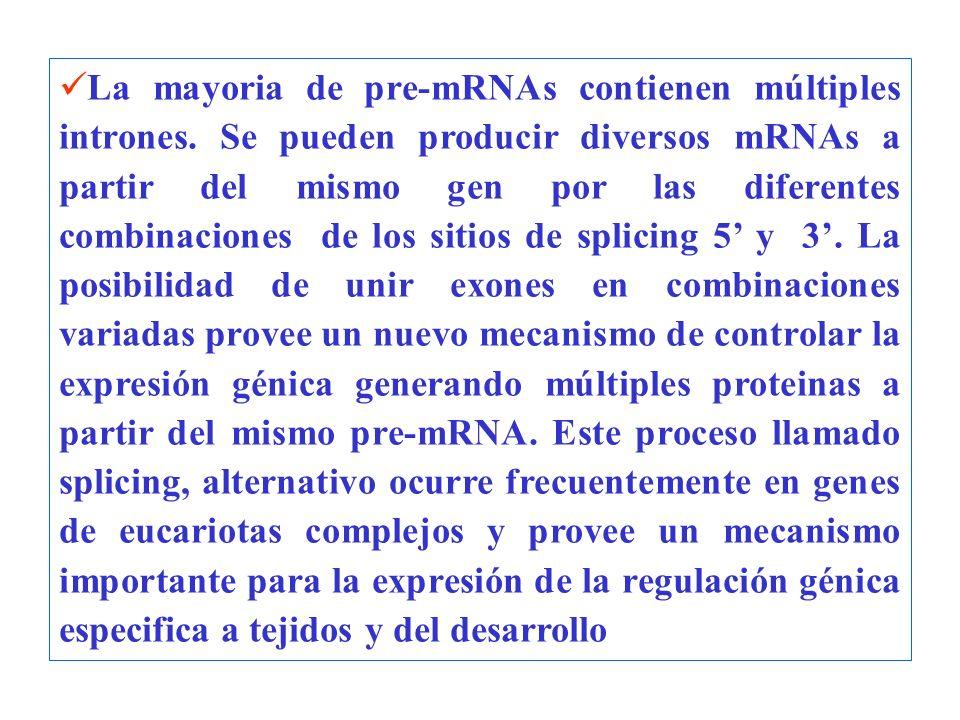 La mayoria de pre-mRNAs contienen múltiples intrones