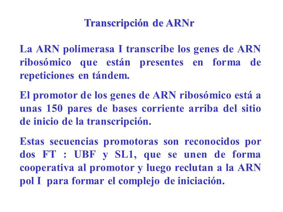 Transcripción de ARNr La ARN polimerasa I transcribe los genes de ARN ribosómico que están presentes en forma de repeticiones en tándem.