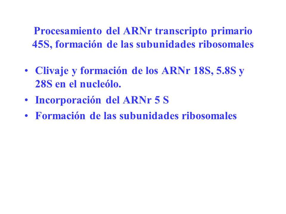 Procesamiento del ARNr transcripto primario 45S, formación de las subunidades ribosomales