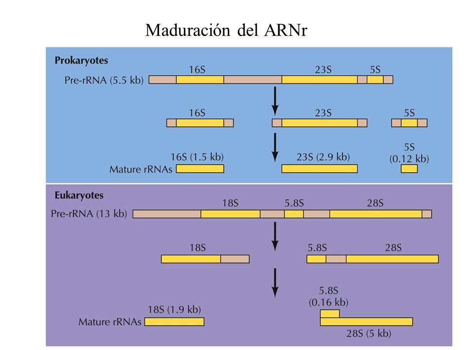 Maduración del ARNr