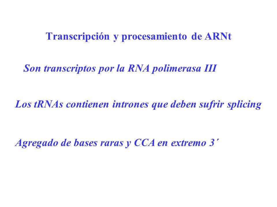Transcripción y procesamiento de ARNt