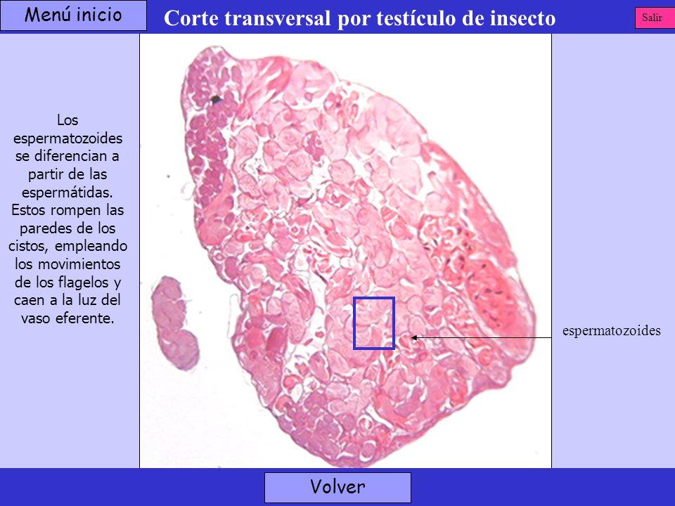 Corte transversal por testículo de insecto