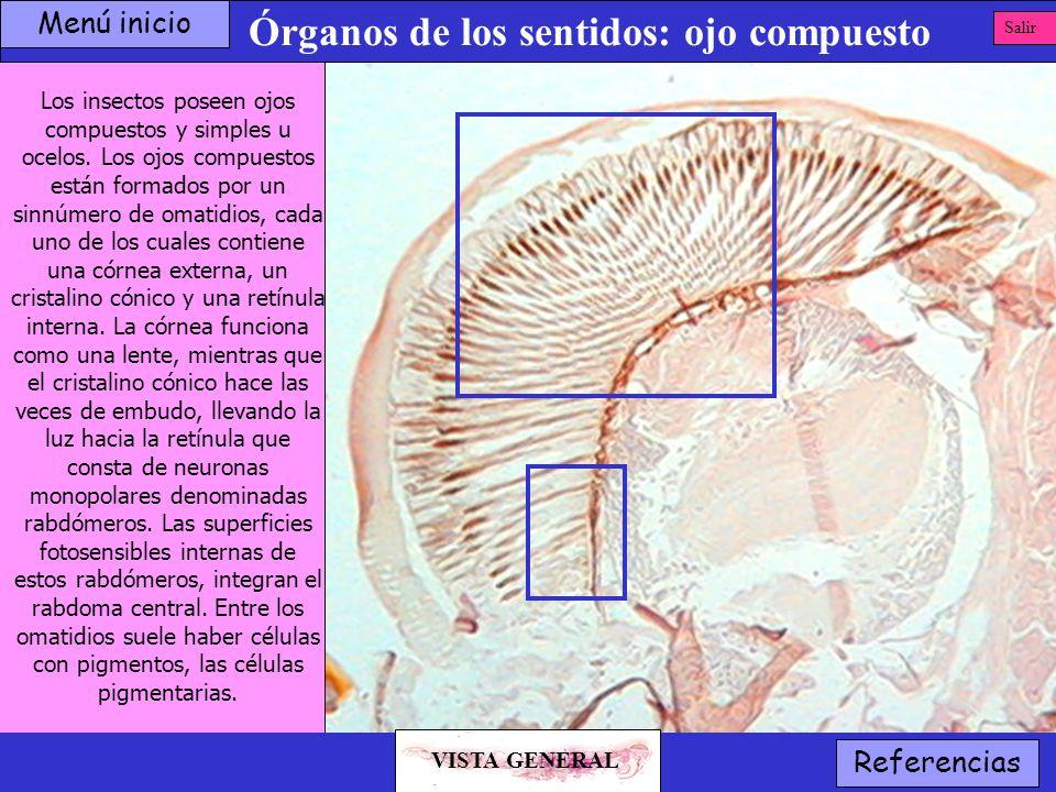 Órganos de los sentidos: ojo compuesto