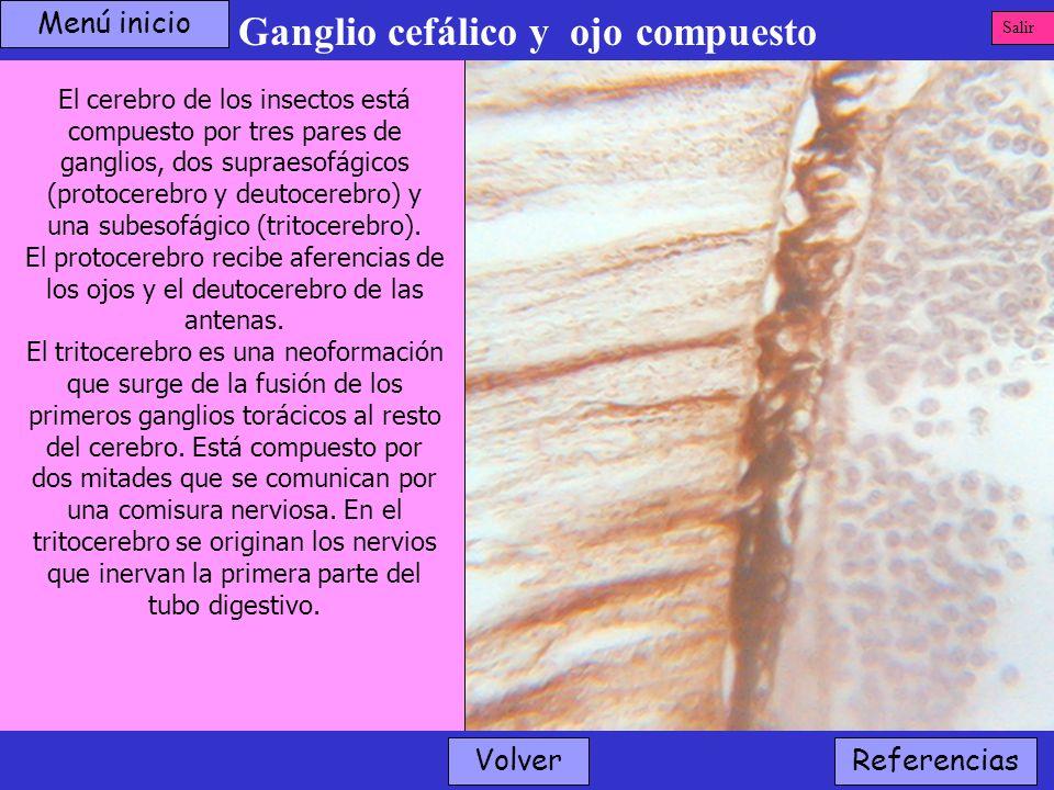 Ganglio cefálico y ojo compuesto