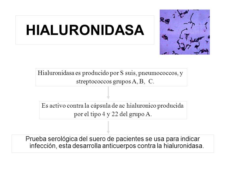 HIALURONIDASA Hialuronidasa es producido por S suis, pneumococcos, y