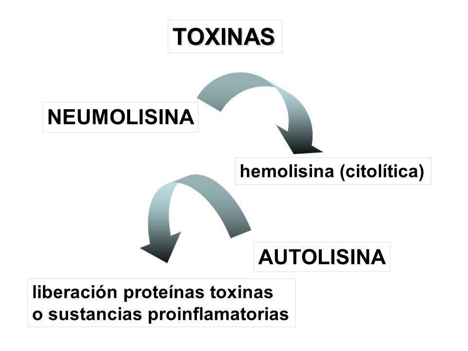TOXINAS NEUMOLISINA AUTOLISINA hemolisina (citolítica)