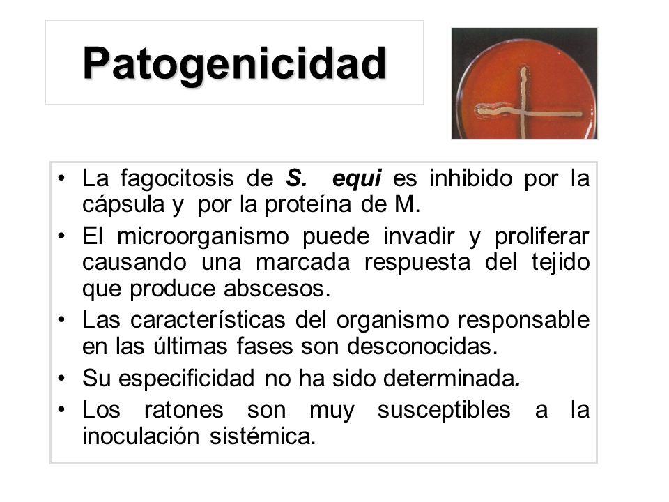 Patogenicidad La fagocitosis de S. equi es inhibido por la cápsula y por la proteína de M.