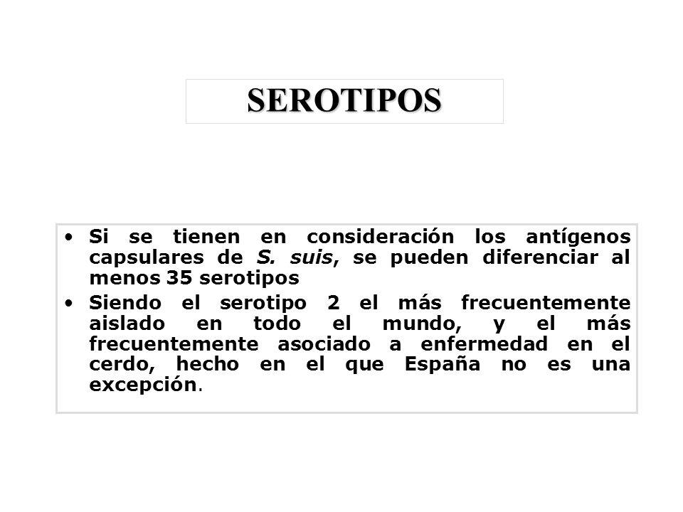 SEROTIPOS Si se tienen en consideración los antígenos capsulares de S. suis, se pueden diferenciar al menos 35 serotipos.