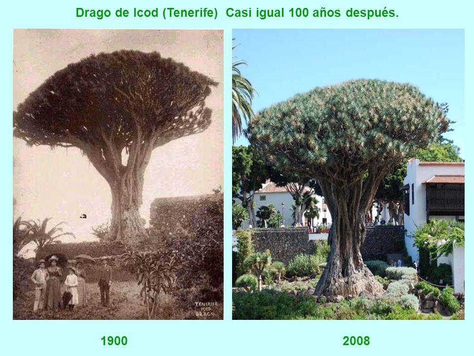 Drago de Icod (Tenerife) Casi igual 100 años después.