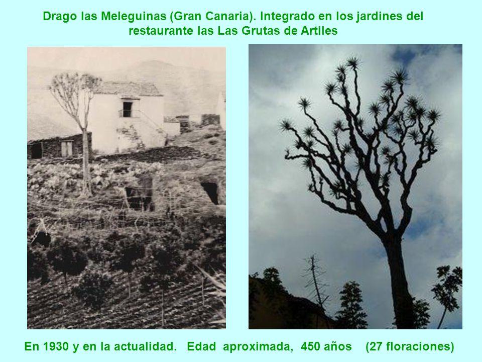 En 1930 y en la actualidad. Edad aproximada, 450 años (27 floraciones)
