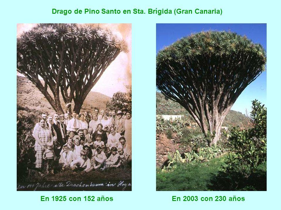 Drago de Pino Santo en Sta. Brígida (Gran Canaria)