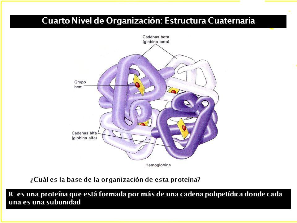 Cuarto Nivel de Organización: Estructura Cuaternaria