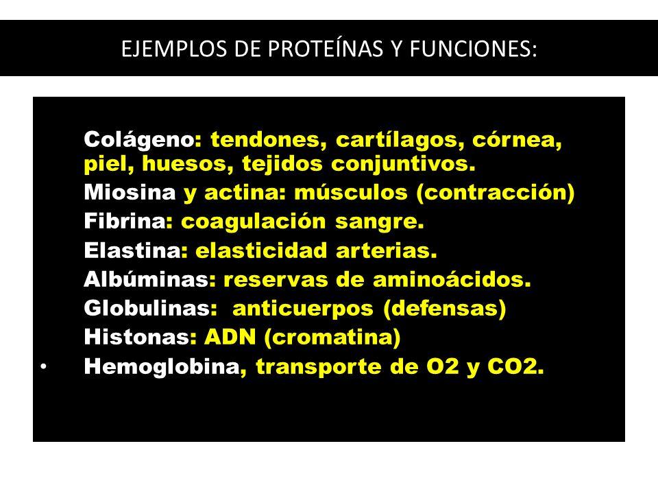 EJEMPLOS DE PROTEÍNAS Y FUNCIONES: