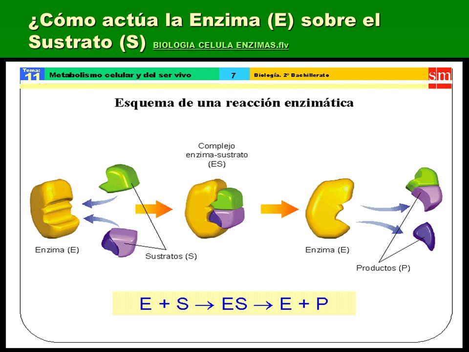 ¿Cómo actúa la Enzima (E) sobre el Sustrato (S) BIOLOGIA CELULA ENZIMAS.flv