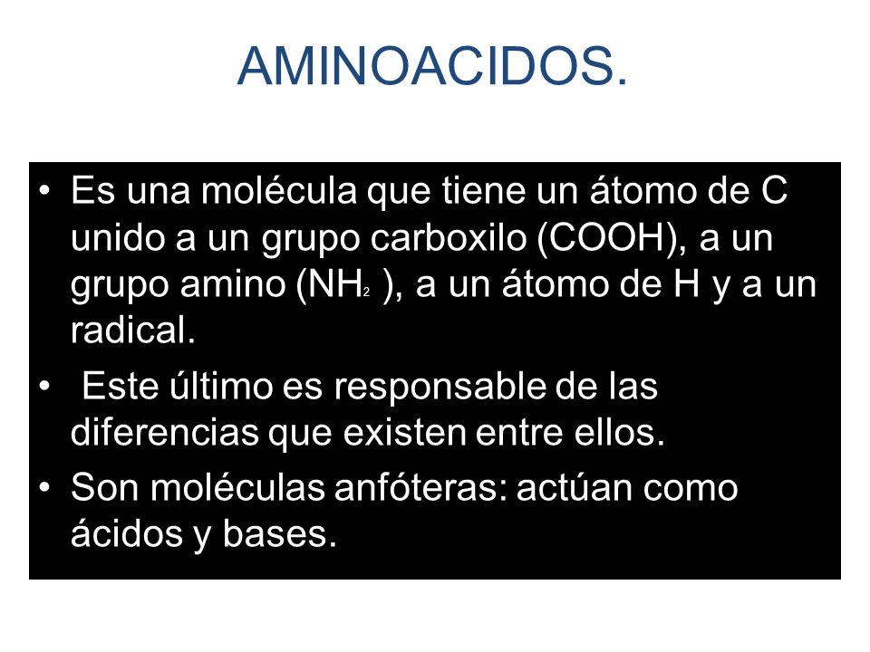 AMINOACIDOS. Es una molécula que tiene un átomo de C unido a un grupo carboxilo (COOH), a un grupo amino (NH2 ), a un átomo de H y a un radical.