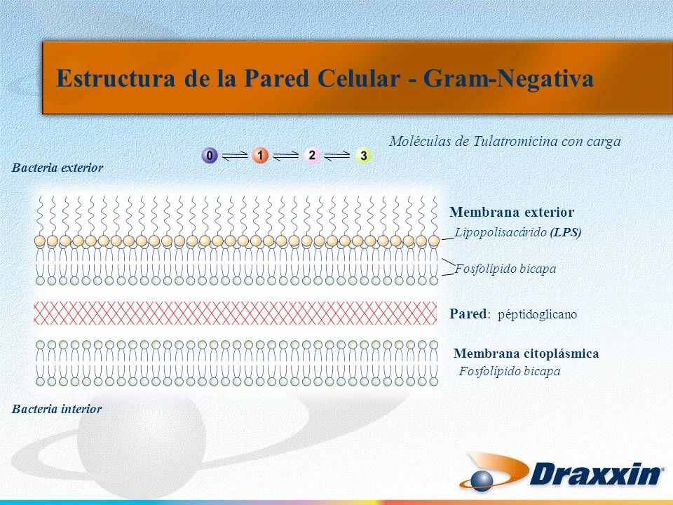Estructura de la Pared Celular - Gram-Negativa