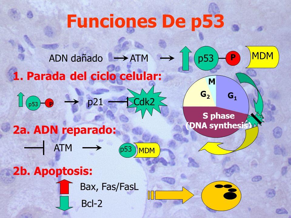 Funciones De p53 1. Parada del ciclo celular: 2a. ADN reparado: