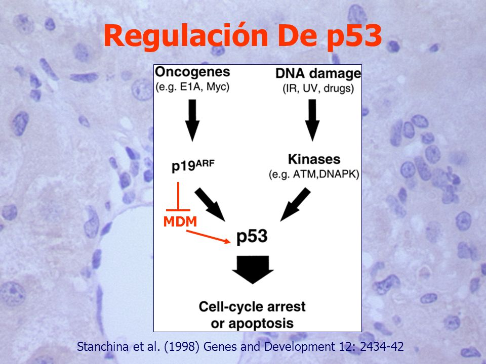 Regulación De p53 MDM Stanchina et al. (1998) Genes and Development 12: 2434-42