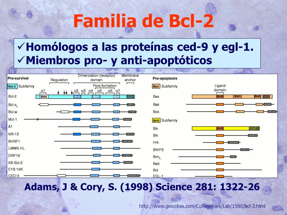 Familia de Bcl-2 Homólogos a las proteínas ced-9 y egl-1.