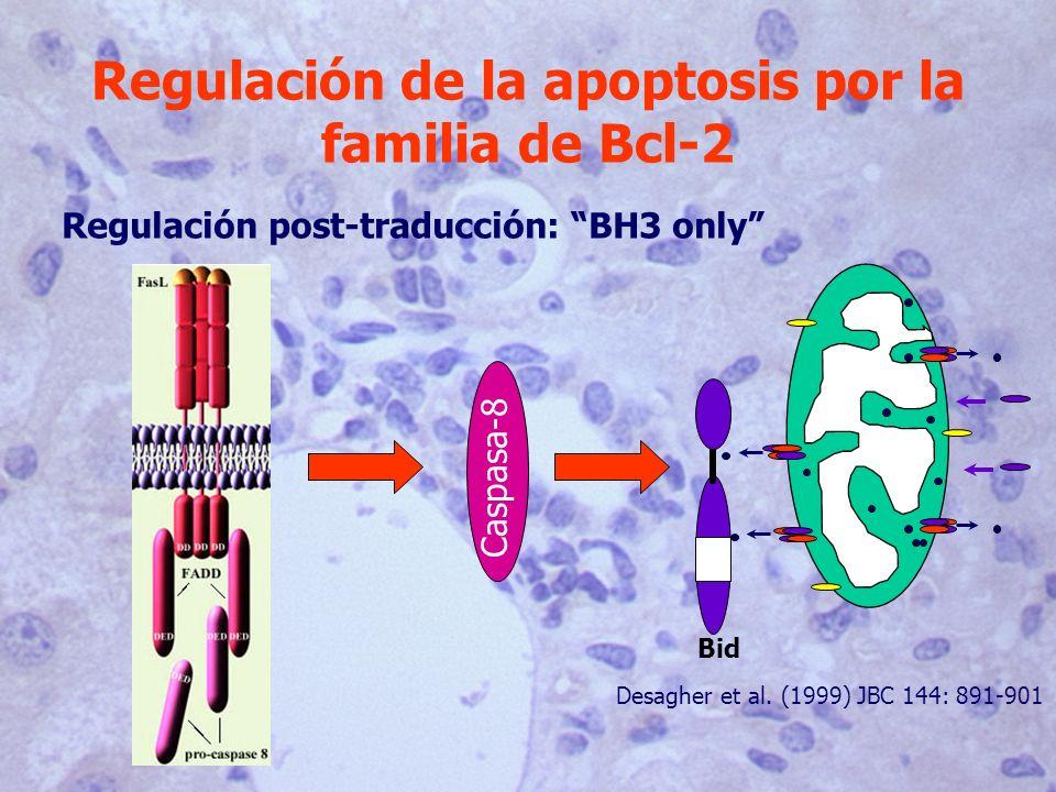 Regulación de la apoptosis por la familia de Bcl-2