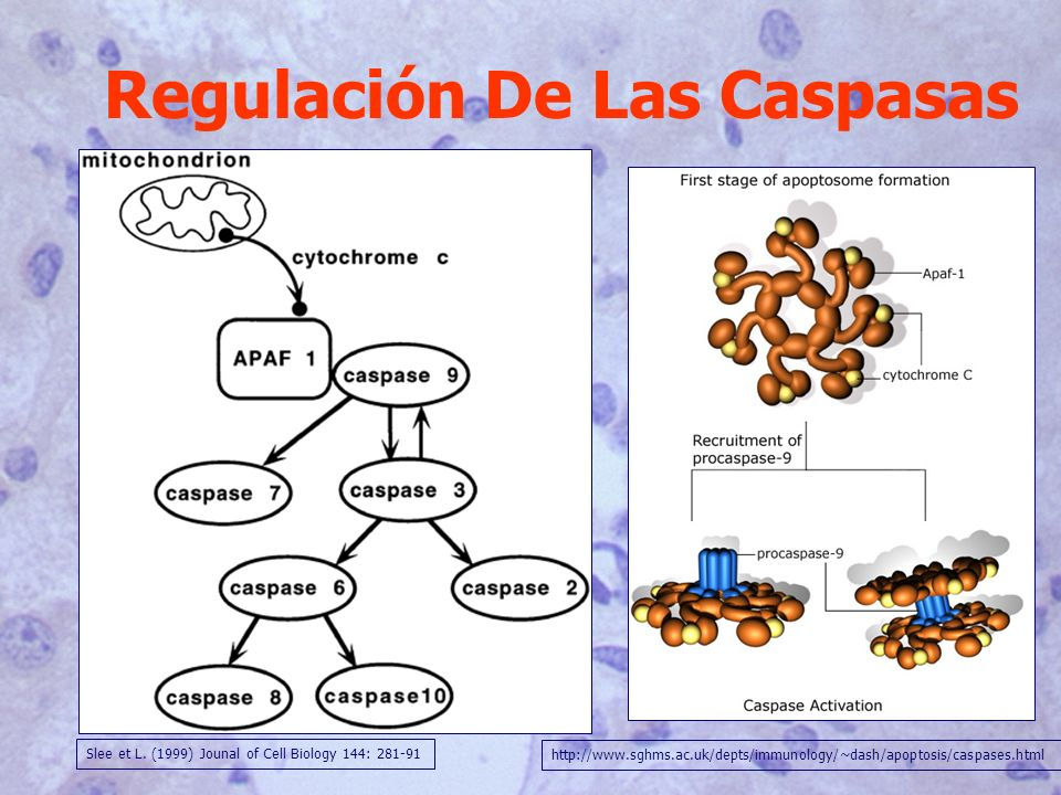 Regulación De Las Caspasas