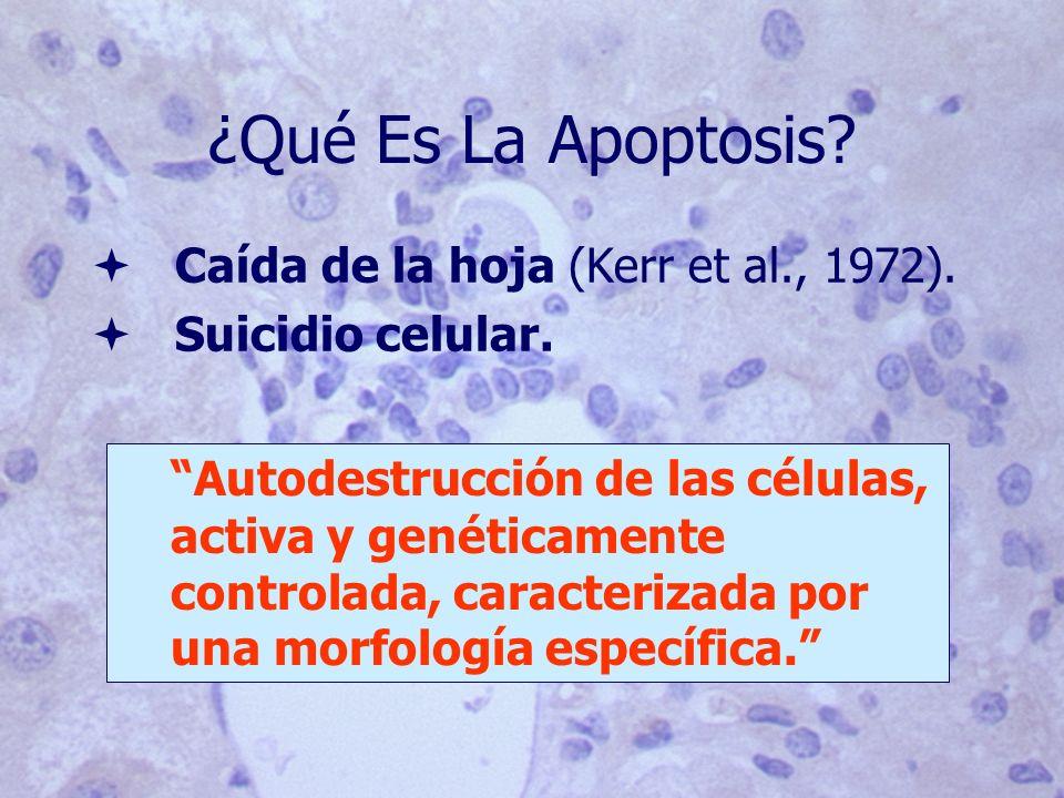 ¿Qué Es La Apoptosis Caída de la hoja (Kerr et al., 1972).