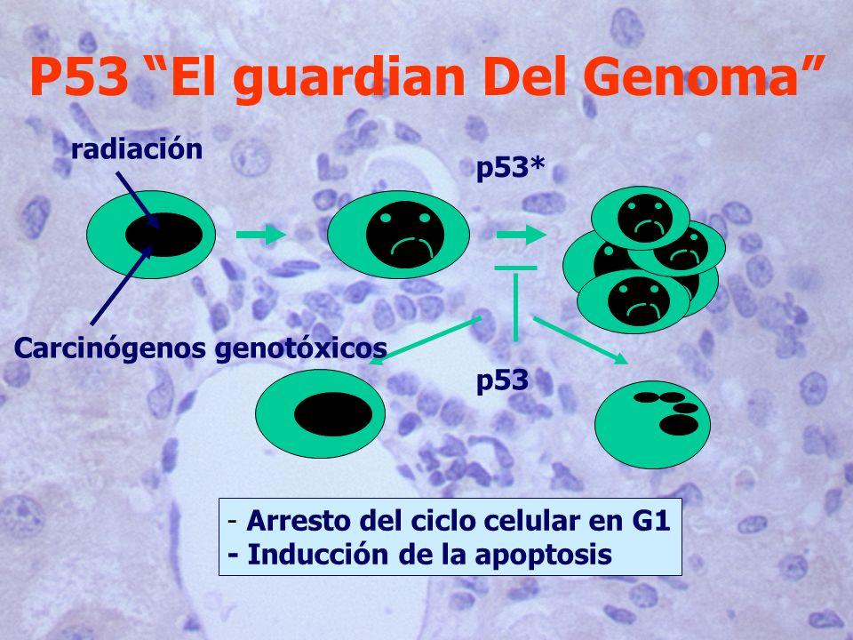 P53 El guardian Del Genoma