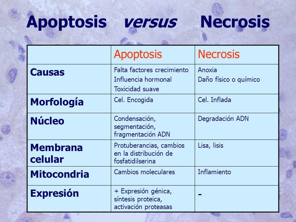 Apoptosis versus Necrosis
