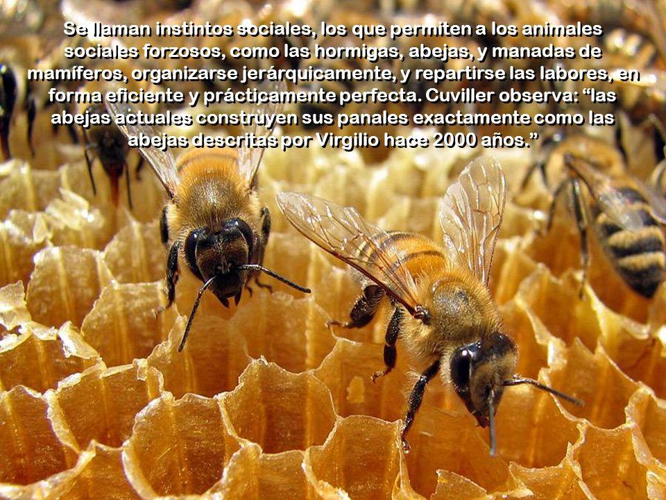 Se llaman instintos sociales, los que permiten a los animales sociales forzosos, como las hormigas, abejas, y manadas de mamíferos, organizarse jerárquicamente, y repartirse las labores, en forma eficiente y prácticamente perfecta.