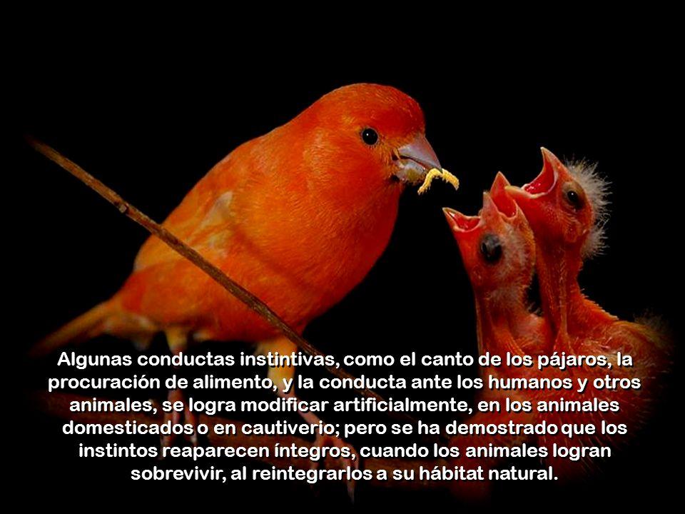Algunas conductas instintivas, como el canto de los pájaros, la procuración de alimento, y la conducta ante los humanos y otros animales, se logra modificar artificialmente, en los animales domesticados o en cautiverio; pero se ha demostrado que los instintos reaparecen íntegros, cuando los animales logran sobrevivir, al reintegrarlos a su hábitat natural.