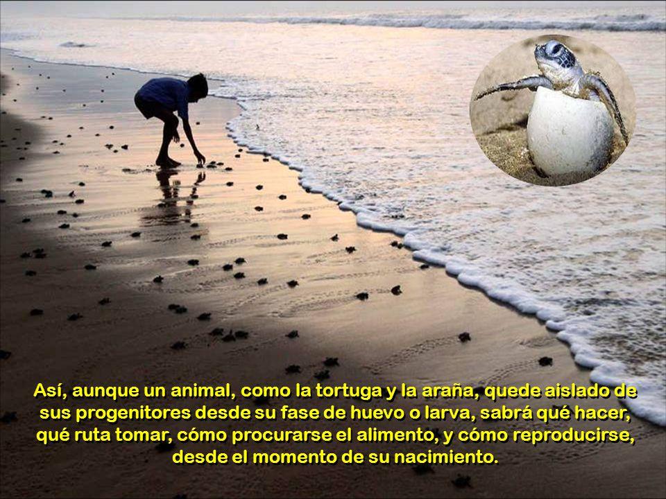 Así, aunque un animal, como la tortuga y la araña, quede aislado de sus progenitores desde su fase de huevo o larva, sabrá qué hacer, qué ruta tomar, cómo procurarse el alimento, y cómo reproducirse, desde el momento de su nacimiento.